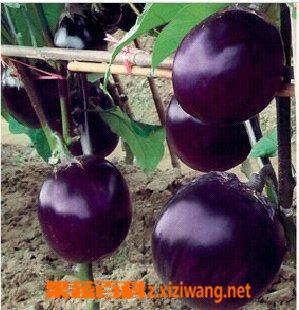 果蔬百科袖珍茄子