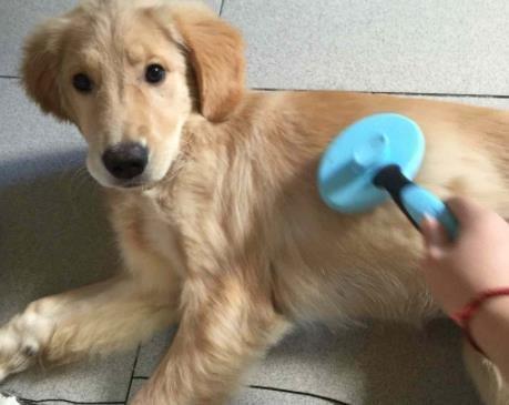 怎么给短毛狗狗梳毛?
